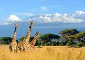 Giraffes in the African savannah
